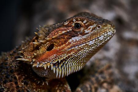 male bearded dragon macro color side portrait