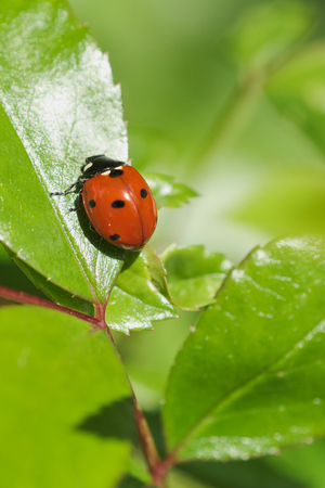 macro of ladybird on a green rose plant leaf on a sunny day, with copy space 免版税图像