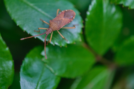 Western conifer seed bug insect, Leptoglossus occidentalis, or WCSB on a green leaf