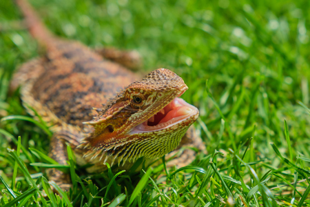 bearded dragon with open mouth in the grass on a hot summer day