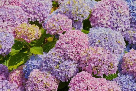 pink, violet and blue hydrangea in Brittany on a sunny day Stok Fotoğraf
