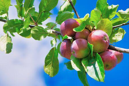pommes mûres fraîches rouges sur la branche contre le ciel bleu nuageux