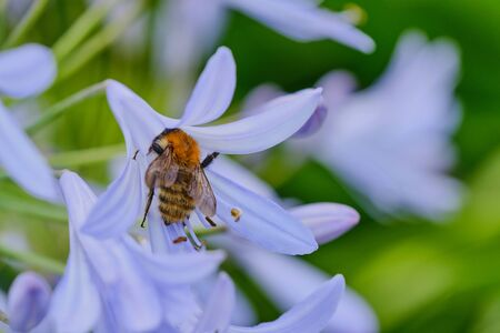 macro of a bumblebee in a blue lily