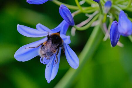 macro color photo of a bumblebee in a blue lily