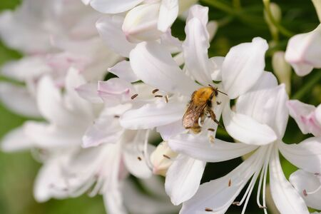 macro photo of a bumblebee in white Agapanthus