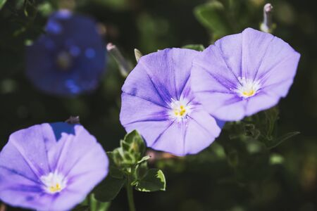 Macro of Ground Morning Glory flower -Convolvulus sabatius ssp Mauritanicus