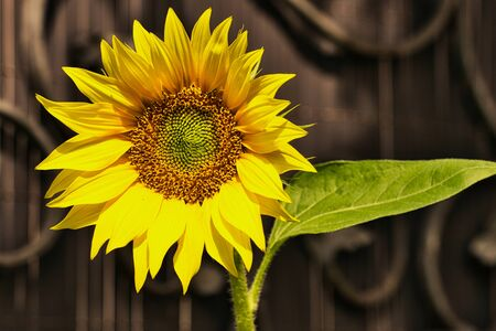 sunflower head against a brown garden door with ornaments Stok Fotoğraf