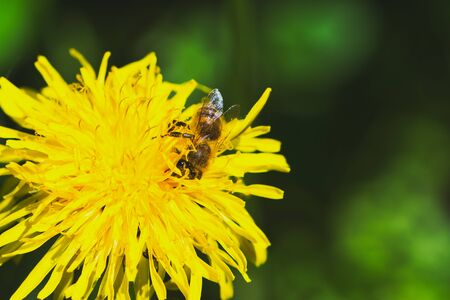 bee is collecting pollen of a yellow dandelion flower