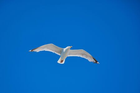 flying seagull against cloudless blue sky with copy space Stockfoto
