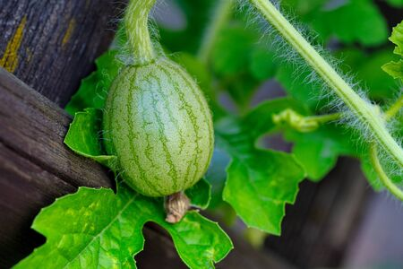 small green growing water melon on a brown garden fence
