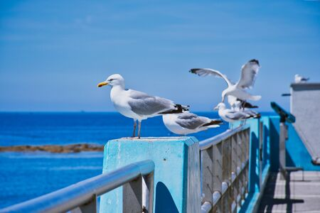 five seagulls sitting on a fence at the harbor of Guilvinec, France with the Atlantic in the background Stockfoto