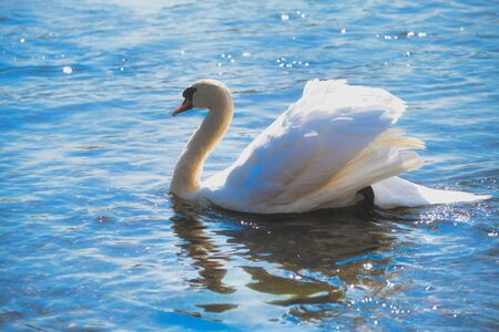 color photo of a white mute swan is swimming in the river rhine