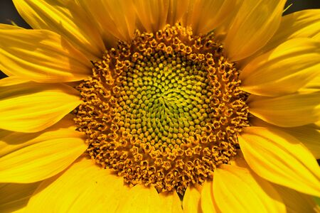 macro of sunflower frame filling as picture background