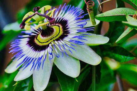 Macro photo de la fleur de la passion commune, passiflora caerulea