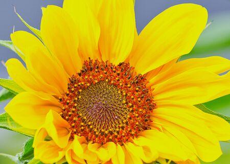 close up of a single sunflower head Stockfoto
