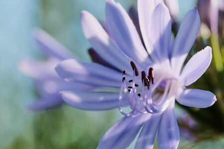 macro of the blue lily -Agapanthus praecox- on a sunny day Stockfoto
