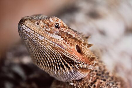 half portrait of a female bearded dragon, macro color picture