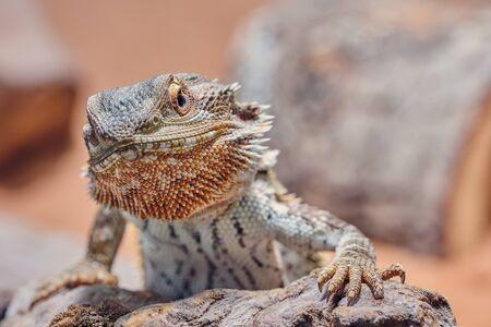 Macro de dragon barbu mâle à la colère dans l'appareil photo, demi-portrait couleur Banque d'images