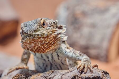 macro of male bearded dragon looking angry into the camera, color half portrait