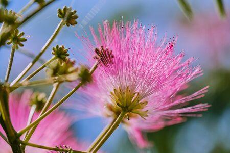 macro color photo of a silk tree blossom -Albizia julibrissin