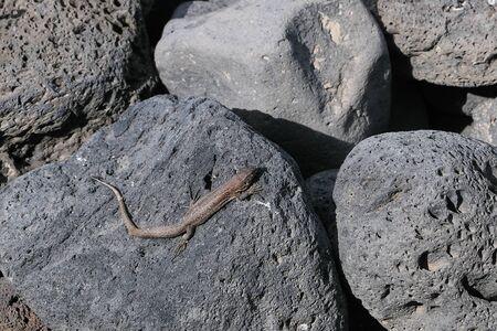 small lizard on Lanzarote, Canary Islands, called Gallotia atlantica Stockfoto