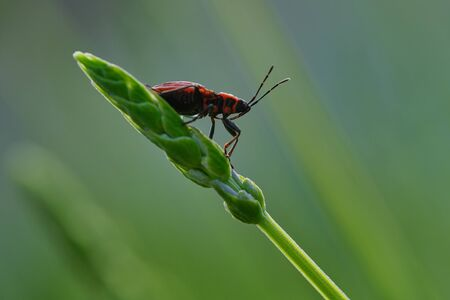 female red longhorn beetle on a green branch