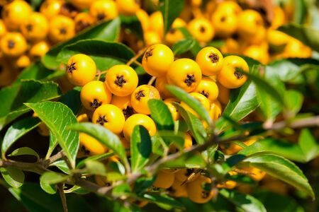 close up of a firethorn plant in Latin called Pyracantha coccinea Stockfoto