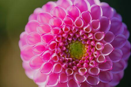 close up of a pink pompon dahlia, macro color photo Stockfoto