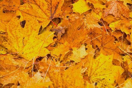 yellow autumn foliage as a picture background Imagens
