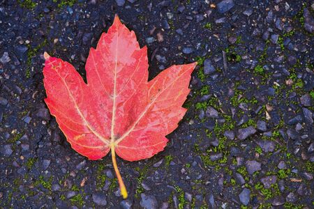 red maple leaf lying on dark blue asphalt Imagens