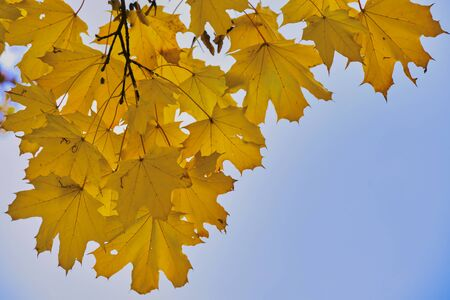 maple leaves in the autumn against blue background Imagens