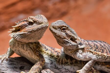 male and female bearded dragon, looking to each other