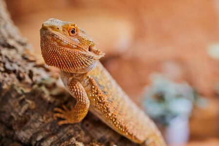 close up of a male bearded dragon, orange colored with copy space, focus on the eye