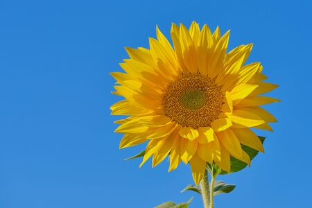 blooming sunflower against blue cloudless sky with copy space Imagens
