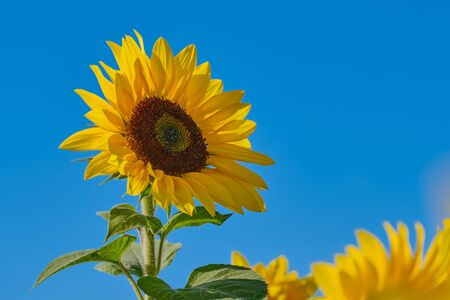 blooming sunflower close up against blue cloudless sky with copy space Imagens