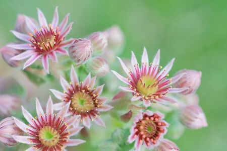 bright macro photo of red blooming sempervivum succulent