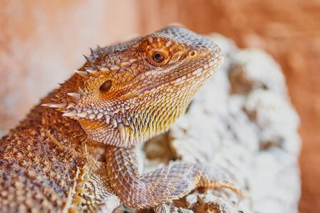 half portrait of a female bearded dragon, macro color picture