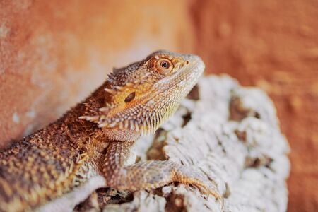 close up color picture of a female bearded dragon in its terrarium