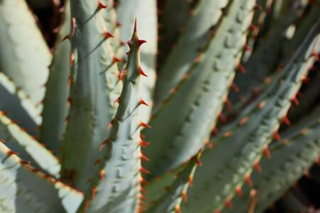 macro of aloe vera plant in Lanzarote, Canary Islands
