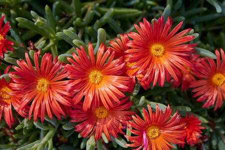 close up of red ice plant - lampranthus spectabilis on the Canary Islands