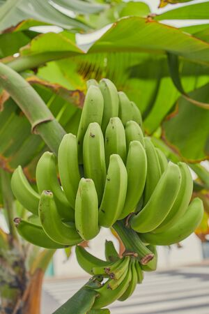 banana plant with growing green unripe bananas on the Canary Islands