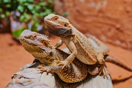 two bearded dragons sitting on top on each other in the terrarium