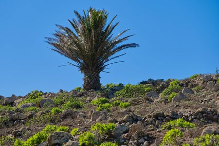 one palm tree grown on the volcanic rocks near Haria, Lanzarote against blue sky
