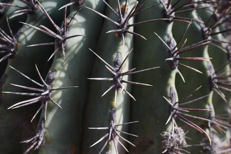 macro of thorns of a cactus on the Canary Islands in Lanzarote as picture background