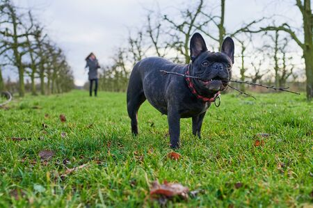 black french bulldog is holding a stick in its mouth while going for a walk in the field, a girl is standing unrecognizable in the background