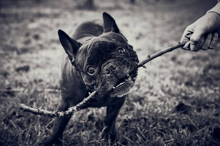 hand of a girl playing getting sticks with a black French bulldog in a black and white style