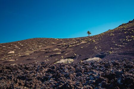 single palm tree growing on a volcanic rock against blue cloudless sky in Lanzarote, Canary Islands