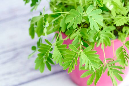 mimosa pudica, sensitive plant on white wooden background
