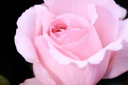 color photo of a bright-pink rose called Andre le Notre, focus in the middle of the rose