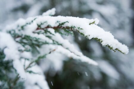 branch of a cypress covered with snow